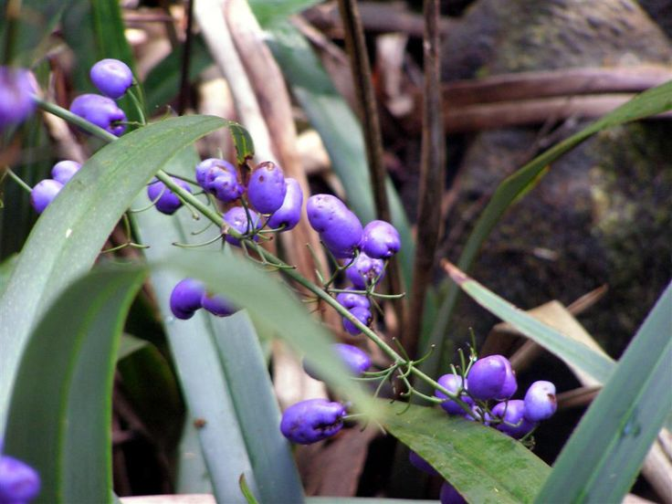 Find This Pin And More On Australian Native Plants 1 By Brianthornbury