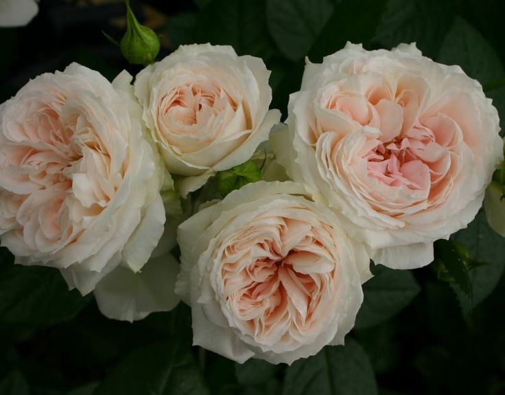 Roses In Garden: 17 Best Images About Roses For The Pacific Northwest On
