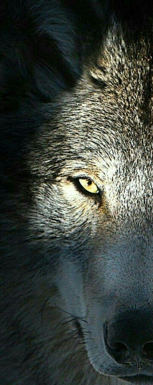 PEEKING WOLF!