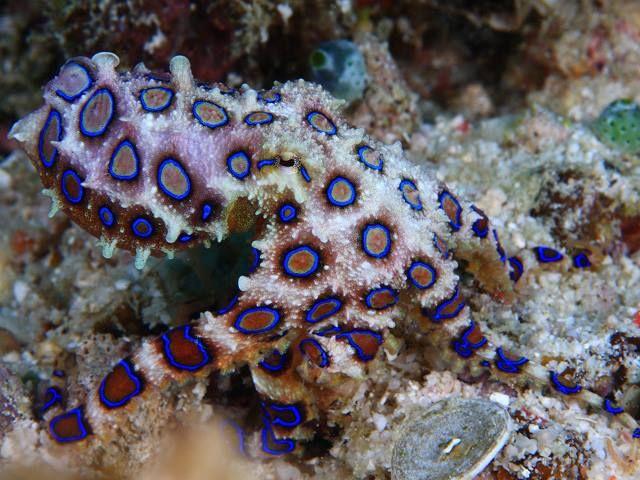 Pulpo de Anillos Azules (Blue-Ringed Octopus)