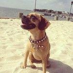 Beach or bust! #hbpuppylove Stripe Dog Collar