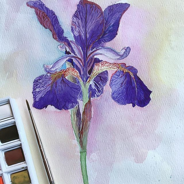 Purple frenzy 🔮💜☂️Дождливая погода располагает, а её в Сиэтле в изобилии. За что его люблю. • • • #livethelittlethings #verilymoment #purple #iris #watercolor #botanical #ботаника #ботанический_баттл #art_we_inspire #watercolour #illustration #realism #рисуйкаждыйдень