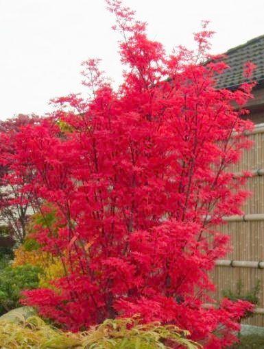 Fächerahorn 'Skeeter's Broom' - Acer palmatum 'Skeeter's Broom' - Baumschule Horstmann