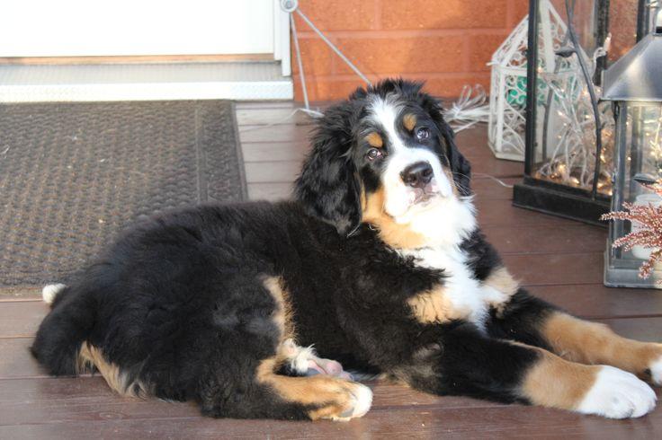 """Laku"" our Bernese Mountain dog"