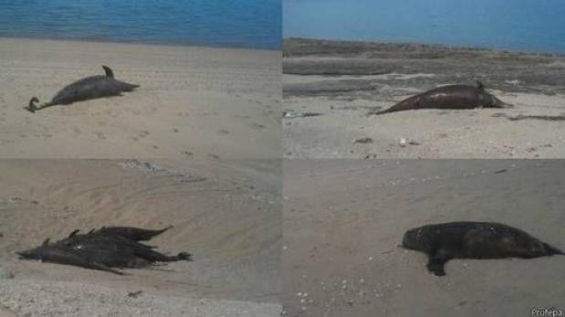 En México: Hallan 55 delfines y cuatro leones marinos muertos - http://www.tvacapulco.com/en-mexico-hallan-55-delfines-y-cuatro-leones-marinos-muertos/