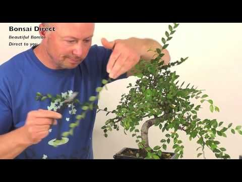 How do I prune my Chinese Elm Indoor Bonsai? In this video Lloyd Noall from Bonsai Direct shows us how to prune your indoor bonsai trees. Using Verity's bonsai as an example, you will see how to regain the shape of a bonsai tree using simple pruning techniques. The Chinese Elm (Ulmus pavifolia) is a fantastic indoor bonsai tree, with immense character. Ideal bonsai for beginners - easy to grow, care for and style. Great fun to prune!