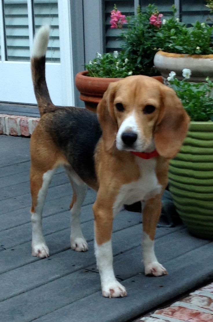 More Beagles Rescued from Labs! - ARME's Beagle Freedom Project