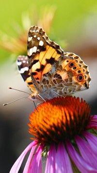 Kolorowy motyl na jeżówce