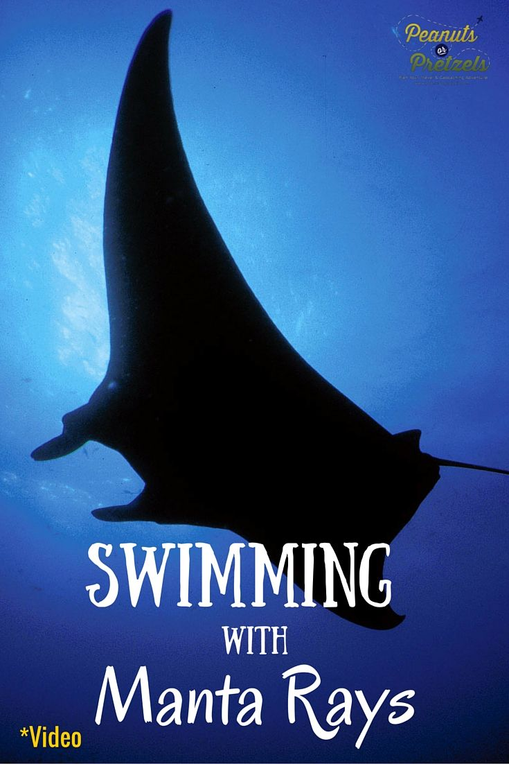 Manta ray swimming underwater with its dorsal fins spread open viewed - Swimming With Manta Rays In Hawaii At Night
