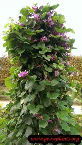 #blue #morning #glory http://www.growplants.org/growing/blue-morning-glory learn 2 #grpw #flower