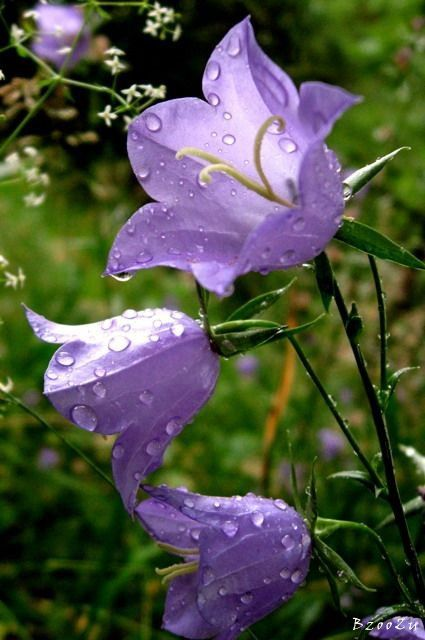 Campanula, another garden flower. This one growing naturally.  22.06.2013
