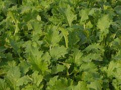 能登野菜・中島菜 中島菜は、七尾市中島地区で古くから栽培される地元の特産品。地元では昔から漬け物やおひたしとして食べられています。最近の研究で血圧上昇を抑える成分が多量に含まれていることがわかり、注目されるようになりました。 春先に収穫する中島菜の植え付けの時期は10月中旬~下旬。そのまま雪の下で越冬することで、養分を蓄えます。害虫の少ない寒い季節、しかも雪に覆われることで力を蓄える中島菜は、「農薬を使う必要がない」野菜なのです。