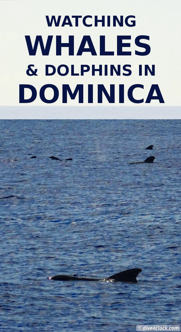Watching Whales and Dolphins in Dominica! Dominica is THE hot spot in the Caribbean to watch whales. Sperm whales, pilot whales, false killer whales and even humpback whales can be spotted. You have a high chance of success year-round and it does not cost a fortune. http://www.diveoclock.com/destinations/Caribbean/Dominica_Whales/ underwater | ocean | sea life | diving |  dive the world | scuba diver | dive instructor | Caribbean | marine conservation | marine life | melon-headed whales