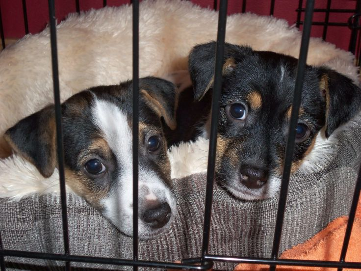 Our two Jack Russell puppies Jake and Harry, took well to crate training, although I never get tired of looking at this picture