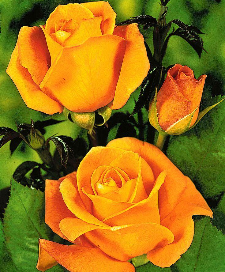 Rosier grandes fleurs 'Whisky'® - Buisson Rosa 'Whisky'®   Dans un endroit ensoleillé, le Rosier à grandes fleurs 'Whisky'® est un rosier ...