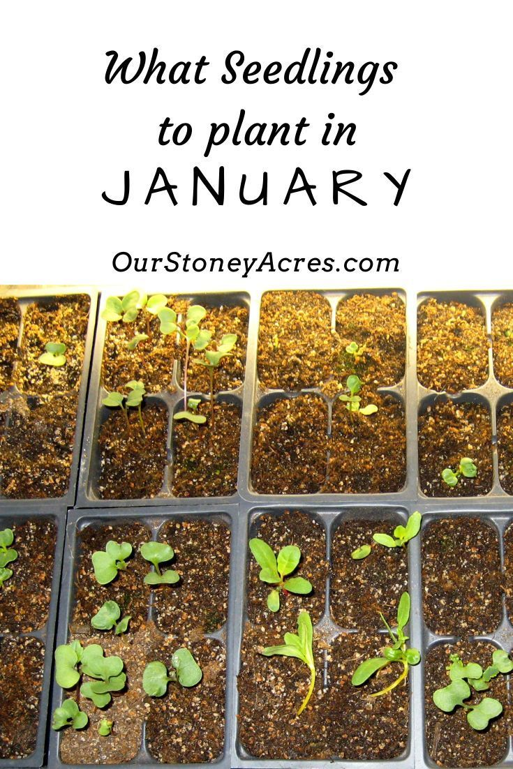 What Seedlings Can You Start In January Zones 5 6 Organic