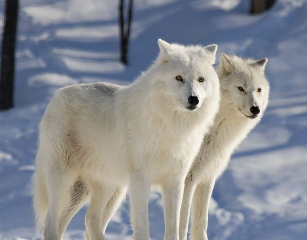 Arctic Fox Movement and Diet Research