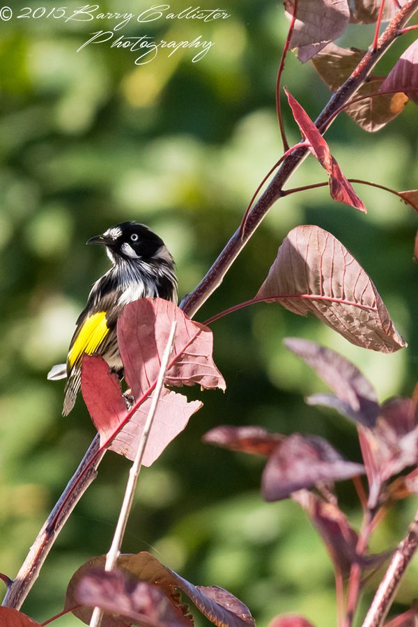 A New Holland Honeyeater, such a beautiful bird in so many ways.