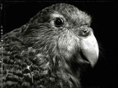 http://www.photosapiens.com/IMG/jpg/Fiona_Pardington_-_e-kakapo-ground_parrot.jpg