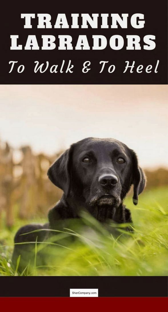 How To Train A 1 Year Old Dog To Listen Dogtraining