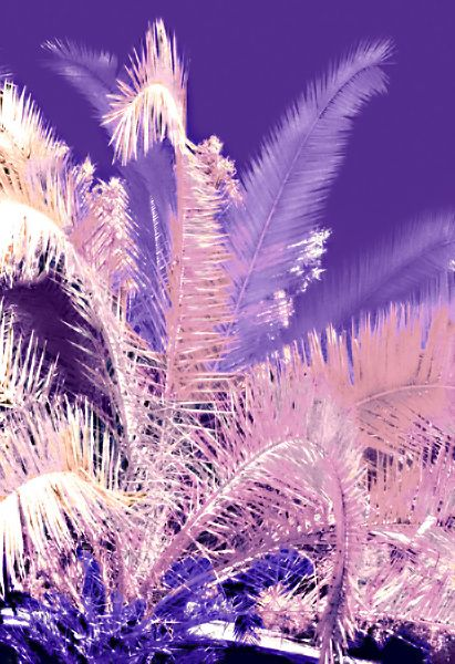 Actual Infrared film used to photograph this large Palm tree. Scanned the film into my computer and using the selection tool in Photoshop, I added color and controlled the opacity.
