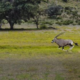 Full Speed Oryx
