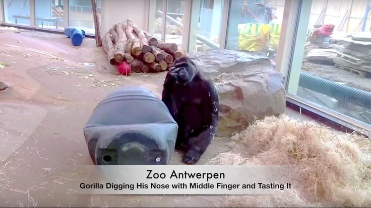 Zoo Antwerpen   (HD) *FUNNY Video* Gorilla Digging His Nose with Middle Finger. Unbelievable! I caught the Eastern Gorilla digging his nose and tasting his finger afterwards. The process was filmed. It is really a funny video :D Very animalistic... #liveinbelgium #lifeinbelgium #belgium #antwerpen #antwerp #zooantwerpen #zooantwerp #funny #hilarious #animal #animals #animalsinaction #recommended  #flanders #gorilla #gorillas #touristattraction #visitantwerp #youtube #video #zoo #mustwatch