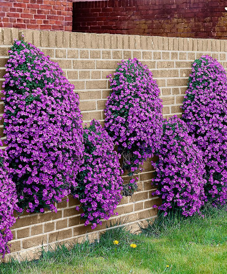 Rock Cress - Excellent evergreen ground cover, producing cushions of pretty purple-blue flowers. It can be planted along the edge of a bed or lawn, or in the rockery, but is also very effective in a hanging basket displaying a profusion of colour.