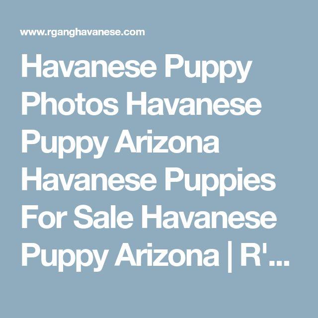 Havanese Puppy Photos Havanese Puppy Arizona Havanese Puppies For Sale Havanese Puppy Arizona   R'Gang Havanese