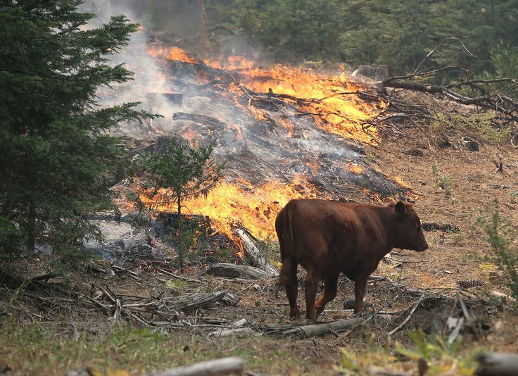 GROVELAND, CA - AUGUST 24: A cow walks through a section of forest that was burned by the Rim Fire outside of Camp Mather on August 24, 2013 near Groveland, California.