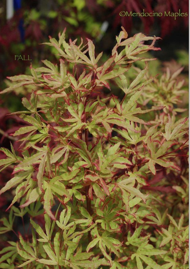 Tennyo no hoshi...A very nice medium sized variegated palmatum. The small wavy leaves have an unusual lightly variegated foliage, the base color is a strong light green with the variegation confined to a fine edging around each lobe | Mendocino Maples Nursery