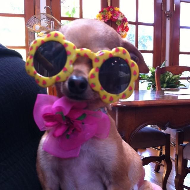 Chihuahua sunglasses