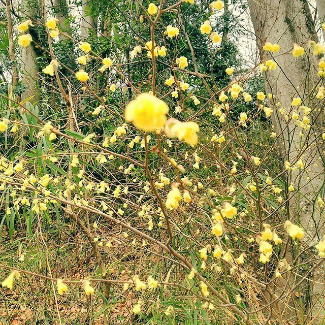 明るい黄色 #ヒュウガミズキ #buttercupwinterhazel