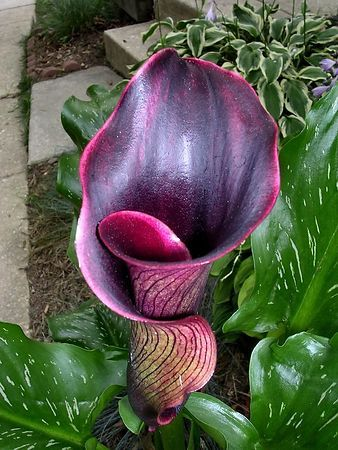 The Dramatic Black Forest Calla Lily
