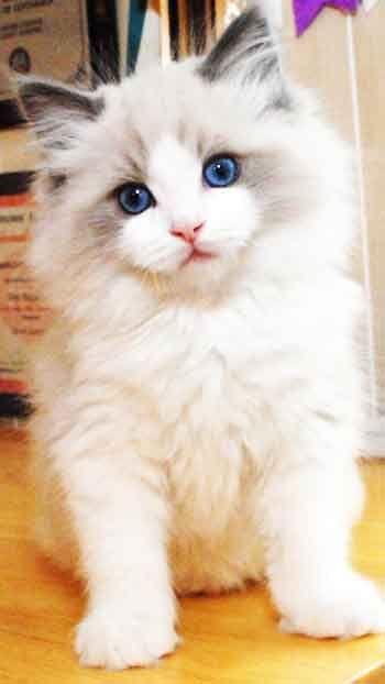 Nice Ragdoll Cat - Mobile Wallpaper HD Free Download – 7