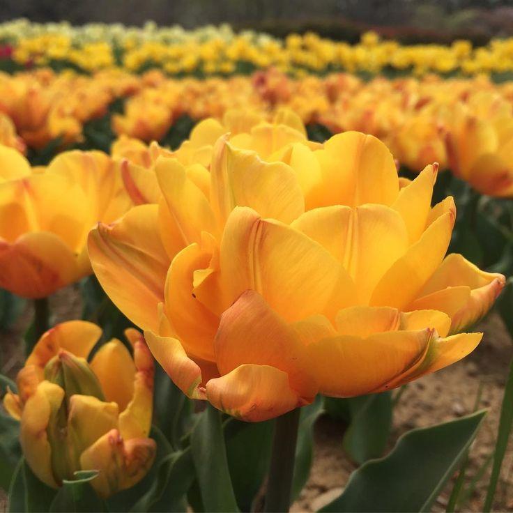 今日は黄色のチューリップを2枚。最初は八重のボリュームあるフリーマン #tulip #チューリップ #チューリップ畑 #tulips #tulipgarden #昭和記念公園 #kings_flora #flowerslovers #はなまっぷ#ptk_flowers…