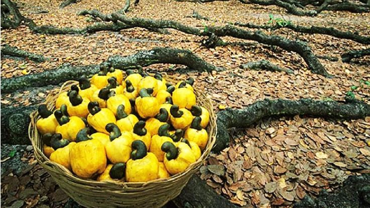 How Cashew Nut Farming and Processing Cashew Cultivation