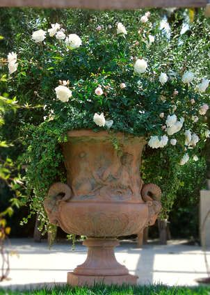 Great scale on the ornate terra cotta pot--iceberg roses not doubt in profusion