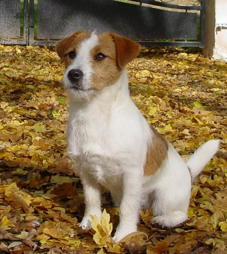 ⏪ Jack Russell Terrier ⏩ Originally bred to bolt fox from their dens during hunts, they are used on numerous ground-dwelling quarry such as groundhog, badger, and red and grey fox. Their high energy and drive make these dogs ideally suited to a number of different dog sports such as flyball or agility.
