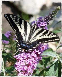 Watching the butterflies in my garden today!