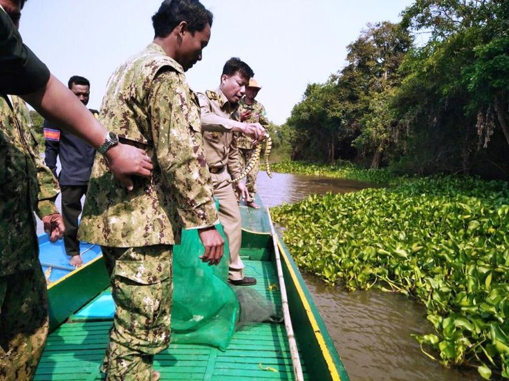 Military police along with forestry administration officers and Wildlife Alliance officials raided a house on Wednesday in Pursat province used in the illegal wildlife trade. The team seized seizing nearly 80 kilos of snakes.    The owner was fined and the wildlife was seized to be released back into the wild. The team seized all the wildlife