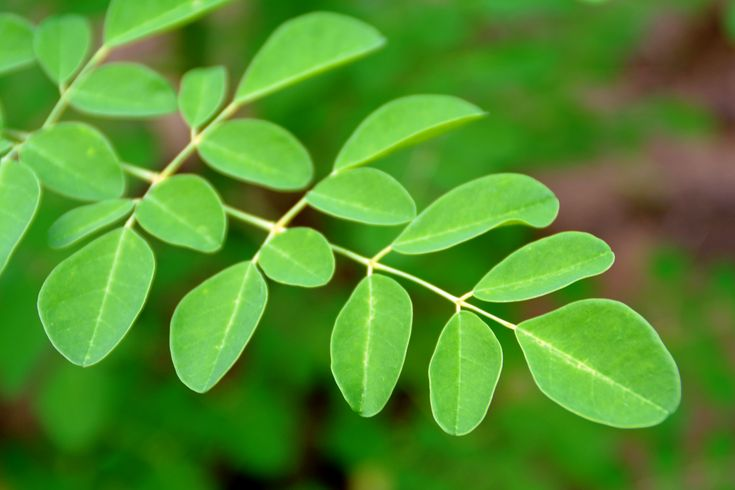 6 More Reasons Why Moringa Is Taking Over the Superfood World | Sunfood Articles and Recipes