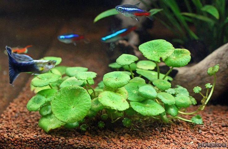 hydrocotyle verticillata - whorled pennywort