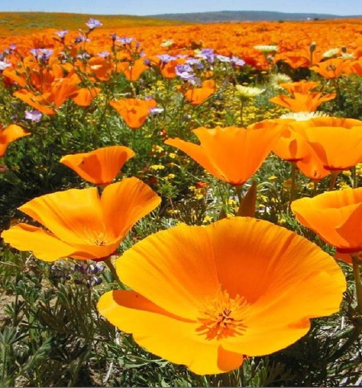 California Poppies by Rob Sheppard