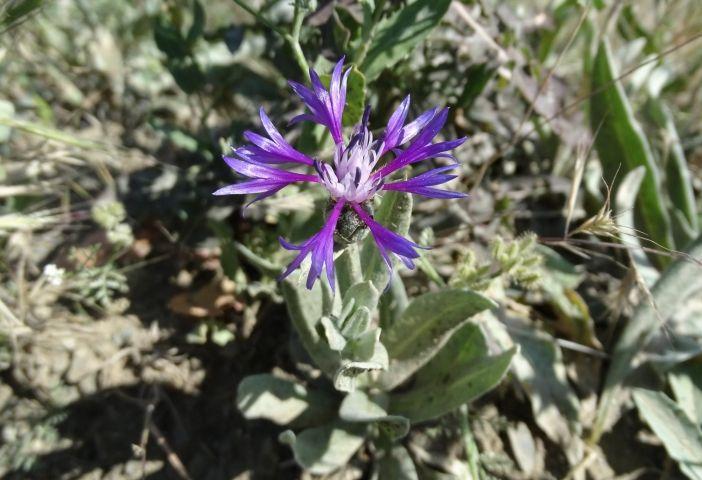 60cm boylanabilen, genellikle tabandan dallanmış, dikenli, tek yıllık otsu bir bitkidir. Yapraklar mızraksı şekilli, 2-3 adet yan bölmeli, kenarları düz ve yoğun tüylüdür.  Çiçeklenme Mayıs – Temmuz aylarında gerçekleşir. Çiçek kümeleri 14-18 mm; çiçekler mavi renktedir. Türkiye`nin her bölgesinde; 0-2300m yüksekliklerde; otlak,tarla ve yol kenarlarında kendiliğinden yetişir.