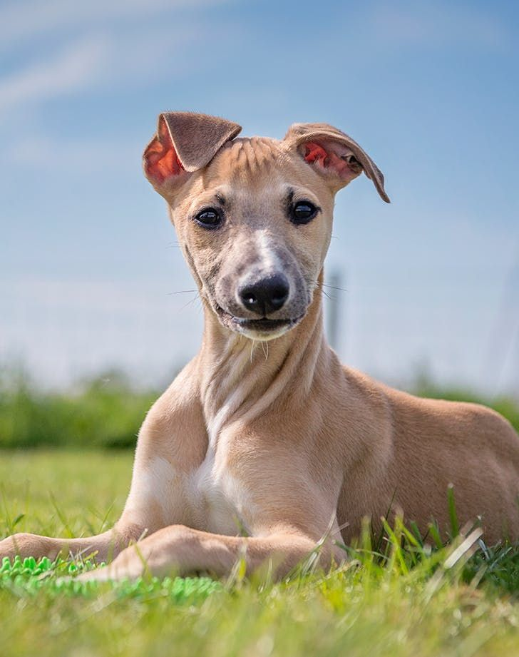 The Best Low Maintenance Dogs For People With Super Hectic Lives Low Maintenance Dog Breeds Whippet Puppies Gorgeous Dogs Breeds
