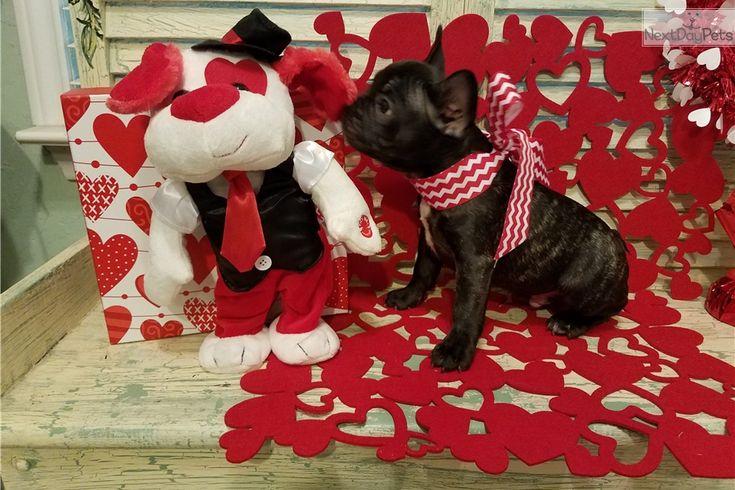 French Bulldog puppy for sale near Houston, Texas | 20477a2c-44e1
