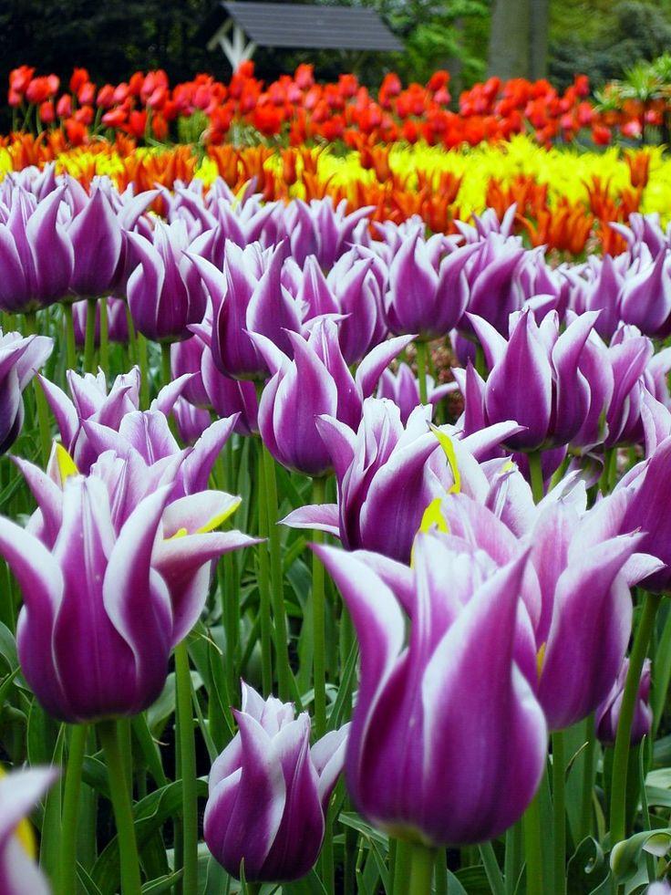 Keukenhof Holanda 003 768x1024 La primavera por el mundo en imágenes de gran colorido