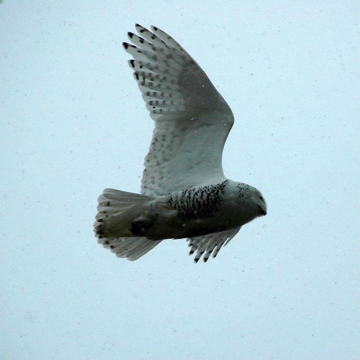 #salthaven #wildlife #release #rehabilitation  #snowyowl