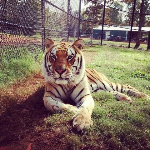 Skanda relaxing in his new habitat! #tigers #texas #tigercreek #habitat #exoticbeauty #christmas